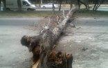 Külək Xaçmazda ağacı avtomobilin üstünə aşırıb, ölən və yaralanan var