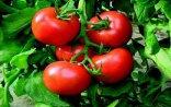Rusiya Azərbaycan pomidoruna qadağa qoyub? - Açıqlama