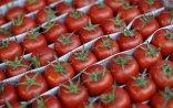 Rusiya 36 ton pomidoru Azərbaycana qaytarıb - VİDEO